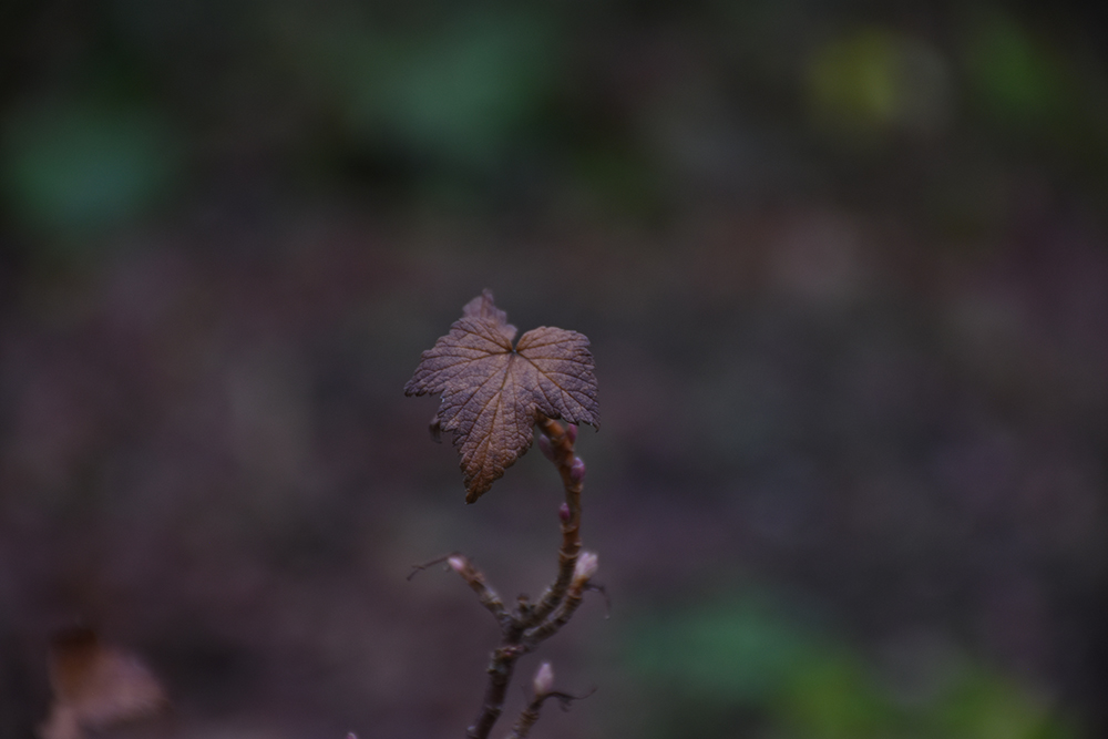 svarta vinbär